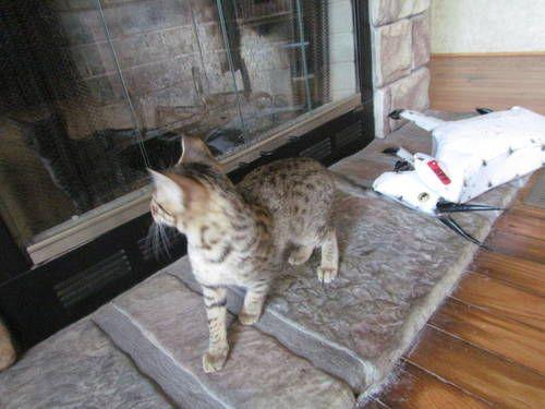 F4 Savannah kittens for sale