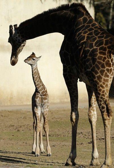 A girafa de 11 anos de idade, Jacky, cuida de seu filhote, nascido em 12 de julho, no Zoológico de Buenos Aires, na Argentina - http://epoca.globo.com/?ver=http://epoca.globo.com/tempo/fotos/2013/07/fotos-do-dia-16-de-julho-de-2013.html (Foto: AP Photo/Victor R. Caivano