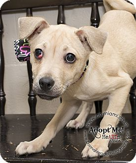 URGENT!  I am at a kill shelter in Troy, OH - Pug Mix. Meet Sherlock a Puppy for Adoption.