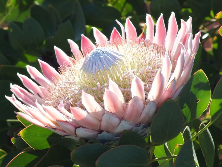 My favourite South African flower.  The King Protea