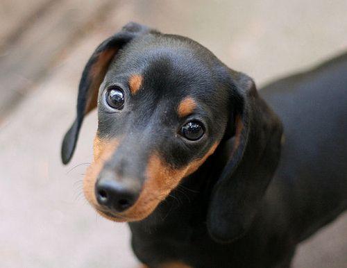 Google Image Result for http://s3.favim.com/orig/46/animals-black-and-tan-cute-dachshund-dog-Favim.com-416458.jpg