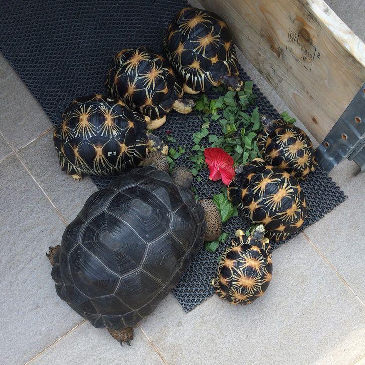 Aldabra and radiata tortoises having lunch