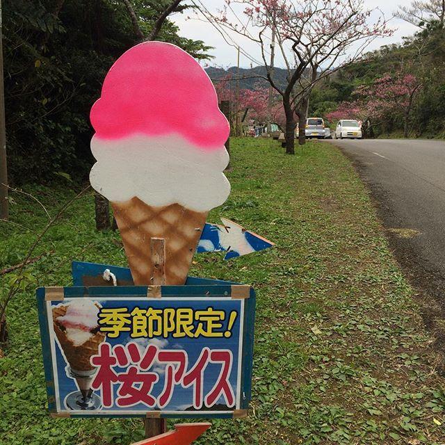 【makiko_tamori】さんのInstagramをピンしています。 《#ビッグアイス #たんかん #美味しい #桜 #さくら #お花見 #八重岳 #トレッキング #にわか#山ガール #運動不足 #準備運動#忘れる #沖縄 #本部 #山 #12分咲き #寒くて暑い》