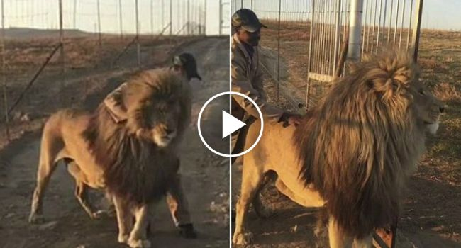 Teimoso Leão Recusa-se a Desimpedir a Entrada Até Que Se Aproxima o Seu Guarda-Florestal Favorito