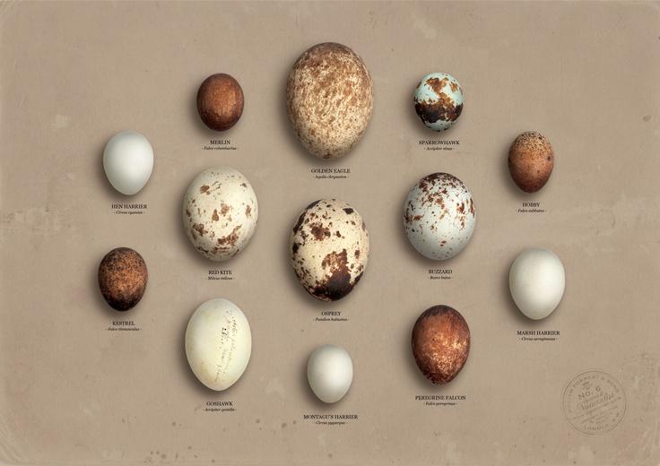 british birds of prey #eggs