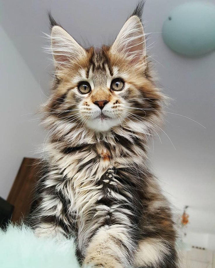 pinterest ─ bagmilk http://www.mainecoonguide.com/what-is-the-average-maine-coon-lifespan/