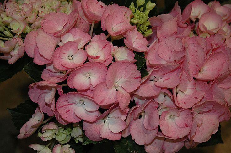 1384 beste afbeeldingen van flowers hydrangeas hortensia. Black Bedroom Furniture Sets. Home Design Ideas