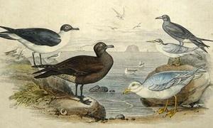Möwe Trauerseeschwalbe Schwalben Möwen kolorierter Stich 1855 Gull Black Tern | eBay