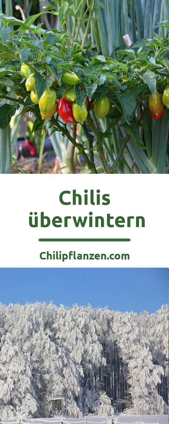 Überwinterung: Chilis mögen Wärme und gehen bei Frost ein. Bei Nacht-Temperaturen unter 14 °C wachsen Paprika-Pflanzen merklich langsamer. Bleiben die Grad-Zahlen dauerhaft unter 13 °C, verlieren gerade wärme-liebende Arten der Capsicum chinense ihre Blätter und sehen kränklich aus.