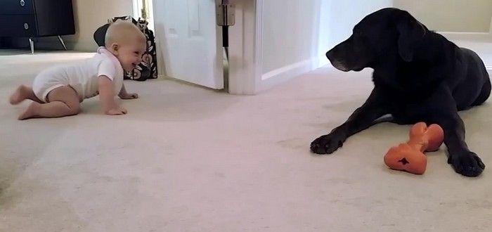 Este perro recompensa de una forma muy tierna al bebé cuando gatea por primera vez - http://viral.red/este-perro-recompensa-de-una-forma-muy-tierna-al-bebe-cuando-gatea-por-primera-vez/