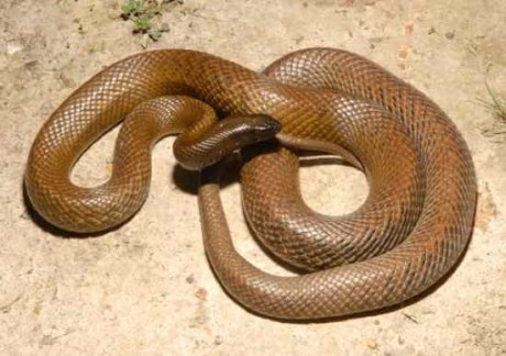 While I did say that I would not include multiple sub-species in this list, the incredible Inland Taipan deserves a spot of its own. It has the most toxic venom of any land snake in the world. The maximum yield recorded for one bite is 110mg, enough to kill about 100 humans, or 250,000 mice! With an LD/50 of 0.03mg/kg, it is 10 times as venomous as the Mojave Rattlesnake, and 50 times more than the common Cobra. Fortunately, the Inland Taipan is not particularly aggressive and is rarely…