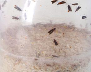 Les mites alimentaires appelées aussi pyrales de la farine, sont des papillons qui s'introduisent dans le riz, les céréales, le sucre, le chocolat, la farine, etc. Quand les larves envahissent les placards, il est difficile de s'en débarrasser ! Retrouvez ces 5 astuces de grands-mères pour lutter contre les mites alimentaires.