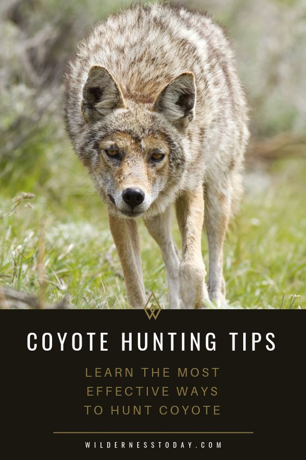 Coyote Looking Ideas: Methods to Hunt Coyotes with Digital & Common Calls