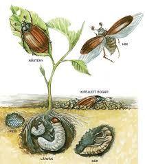 rovarok fejlődése teljes átalakulás képek - Google keresés