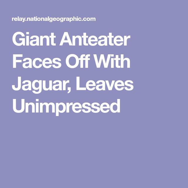 Giant Anteater Faces Off With Jaguar, Leaves Unimpressed