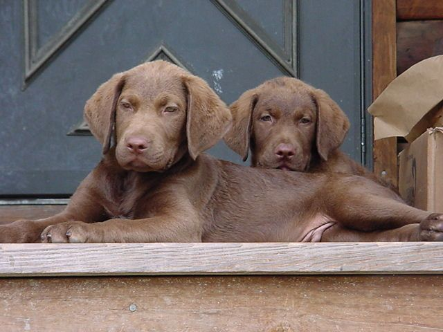 Chesapeake bay retriever pups :)