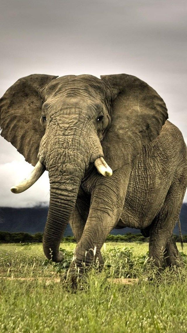 Ferocious Elephant Iphone5s Wallpaper Elephant Wallpaper