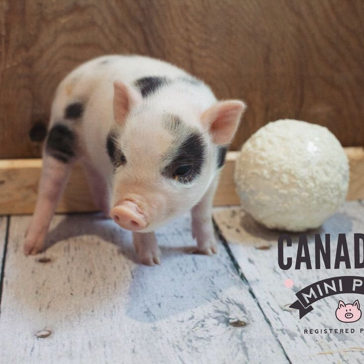 www.canadianminipigs.ca