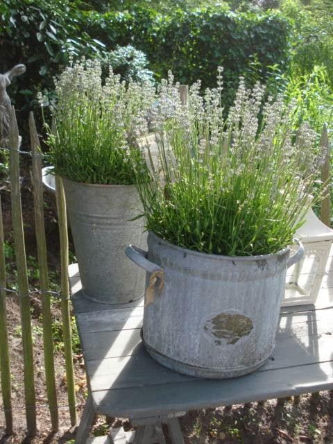 lavender in galvanized buckets