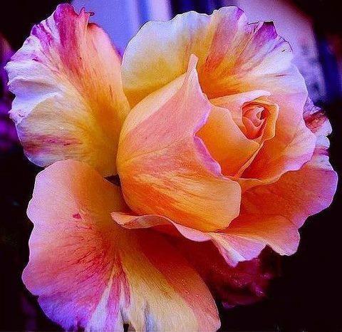 Fiery sunset rose