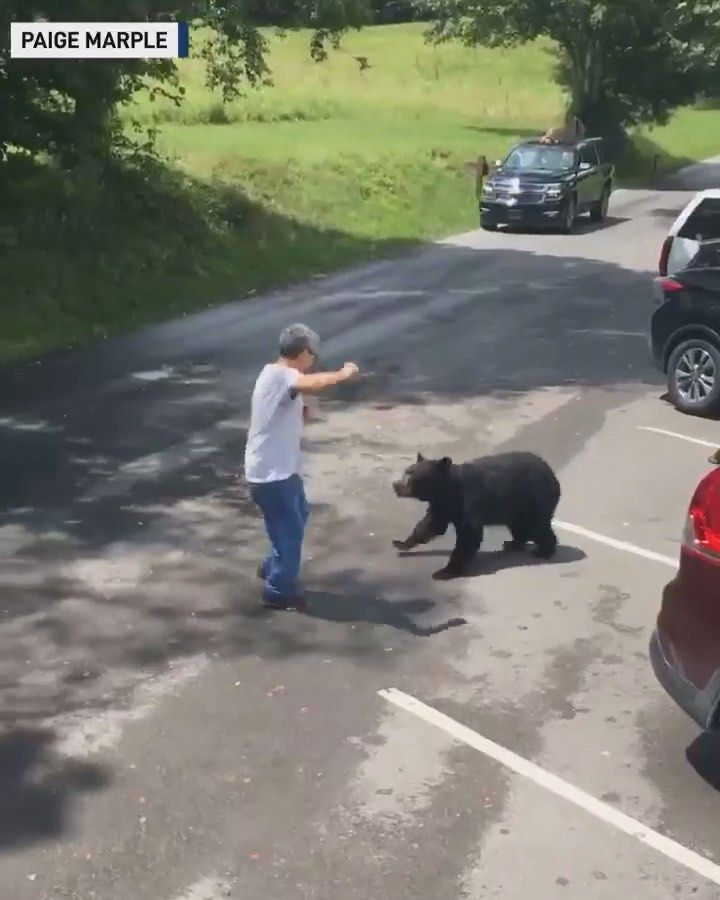 بدر سكارفيس Wildlife Nature On Instagram شخص يقترب بشكل خطير من انثى الدب الاسود وصغارها في ولاية تينيسي الولايات المتحدة Man Gets Too Close To Bear