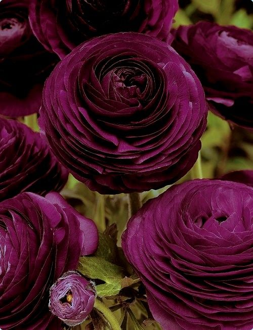 Luscious and #beautiful #wine colored #flowers