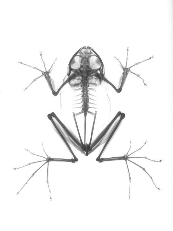 X-ray Indonesian flying Tree Frog.  Rhacophorus nigropalmatus