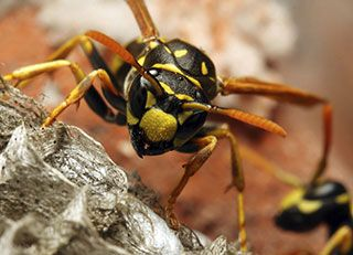 Wasp removal by the Protech Pest Control in melbourne.