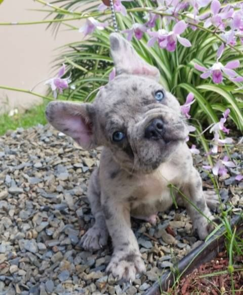 French Bulldog Puppy from the Samuel Kennel