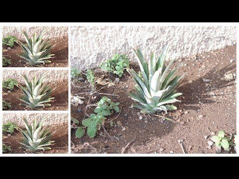 Cómo cultivar papa en el balcón - Parte 2 - Te quedan dudas? @cosasdeljardin - YouTube
