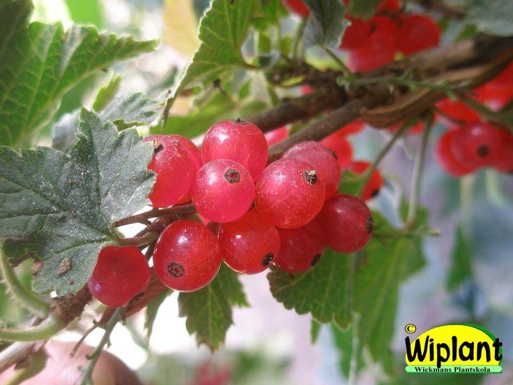 Ribes rubrum 'Punahilkka', Röda vinbär. Nyhet, kommer hösten 2015.  FinE-sort.  Höjd: 1-1,5 m.  Zon II (III)