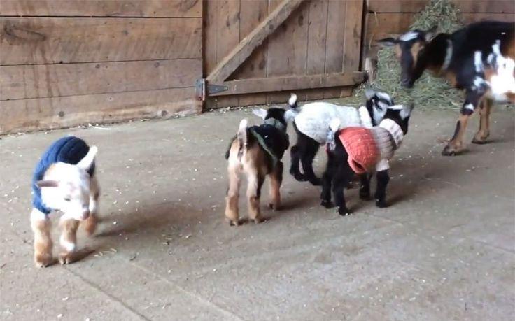 Estas cabras bebés están muy emocionadas mientras aprenden a saltar por primera vez. No dejes de ver el hermoso video.