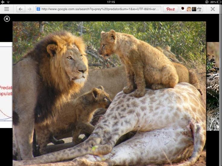 predator prey relationship apes hill