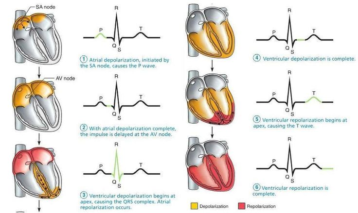 The cardiac conduction system is a group of specialized cardiac muscle cells in…