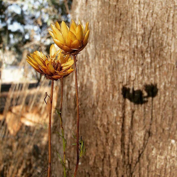 Summer is kicking on ☀️ the bush is crispy dry 🍂 we look forward to some Autumn rain 🌧  #everlasting #australiannative #lovethebush #hotanddry #waitingforrain #olympusinspired #spent #flowersofinstagram