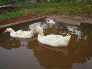 Criação de marrecos: diferenças entre patos e marrecos