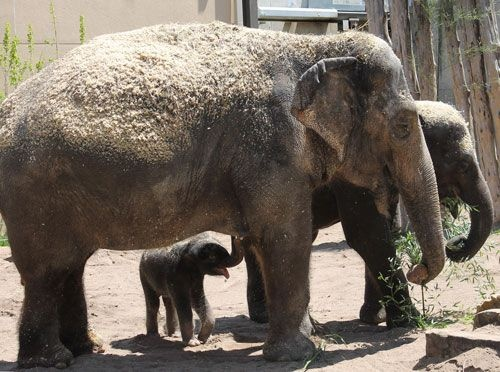 Priya with mom Ellie and sister Maliha on April 29, 2013 at Saint Louis Zoo. Photo by Zookeeper Sarah Riffle.