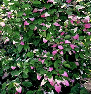 Arctic Beauty Kiwi - a vine-y edible for the trellis