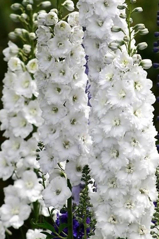 Innocence white delphinium flowers pinterest delphiniums innocence white delphinium mightylinksfo