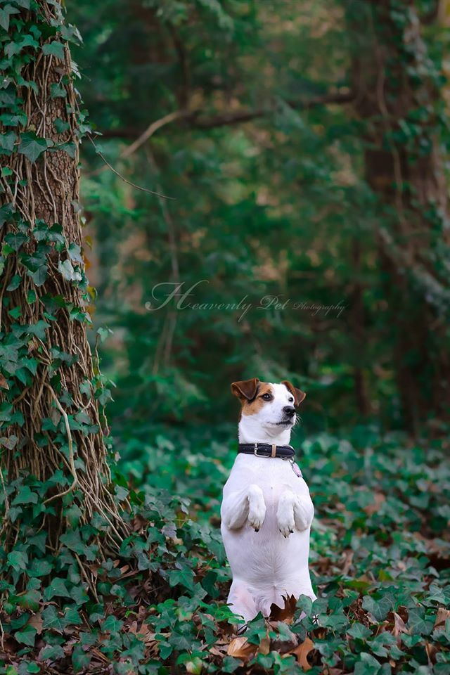 Follow the white rabbit...by Heavenly Pet Photography #JackRussell #terrier #dog #pet #photographer