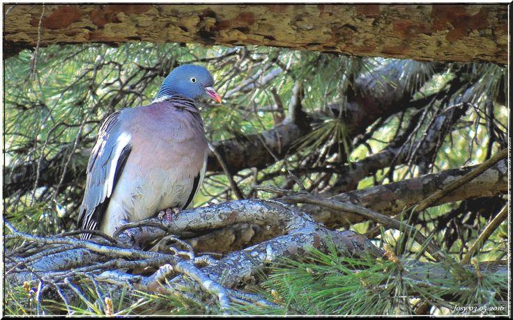 Oiseau - pigeon ramier