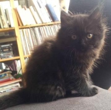 ≥ Mooie kitten (poes) Pers x Noorse Boskat - Katten en Kittens   Overige Katten - Marktplaats.nl