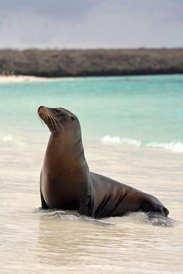 Sea Lion on Espanola Island