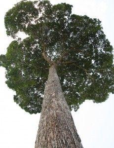 arbore nuc de Brazilia