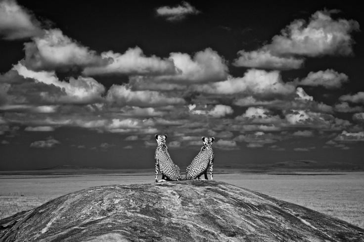 """Внимавай за лъвове Чарли Хамилтън (Великобритания)Чарли снима лъвове в Националния парк """"Серенгети"""" в Танзания, когато попада на тези два гепарда. Те също се оглеждат за лъвове. """"След като опасността отмина, се отпуснаха в грациозно симетрична поза по средата на извита скала под симетрични облаци, увенчани от перфектно малко облаче на върха"""", разказва Чарли. Той допълва, че когато снимаш дива природа, обикновено всички фактори са срещу фотографа, но в този случай било точно обратното…"""