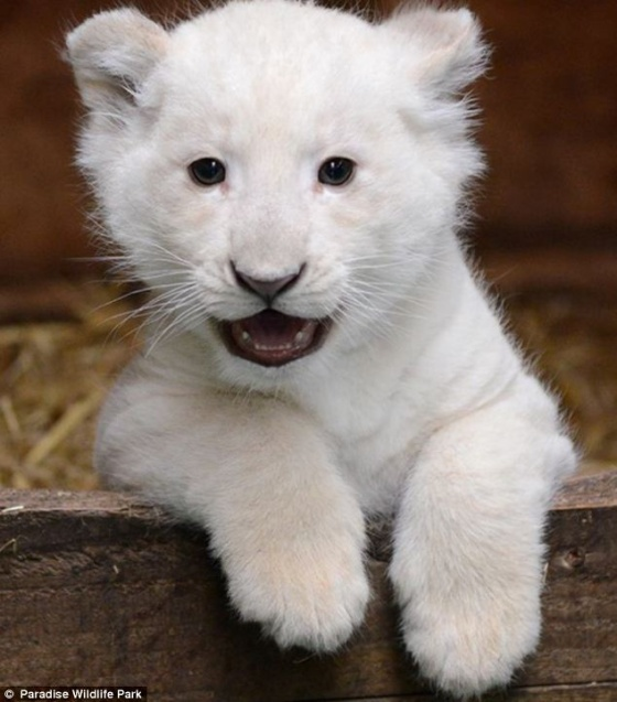 cute baby white lions - photo #4