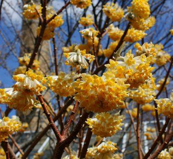 Paper Bush (Edgeworthia chrysantha) is a rare find in gardens, and definitely a conversation-starter with its sunny yellow flowers and delicate fragrance. Likes a protected location with perfect drainage.