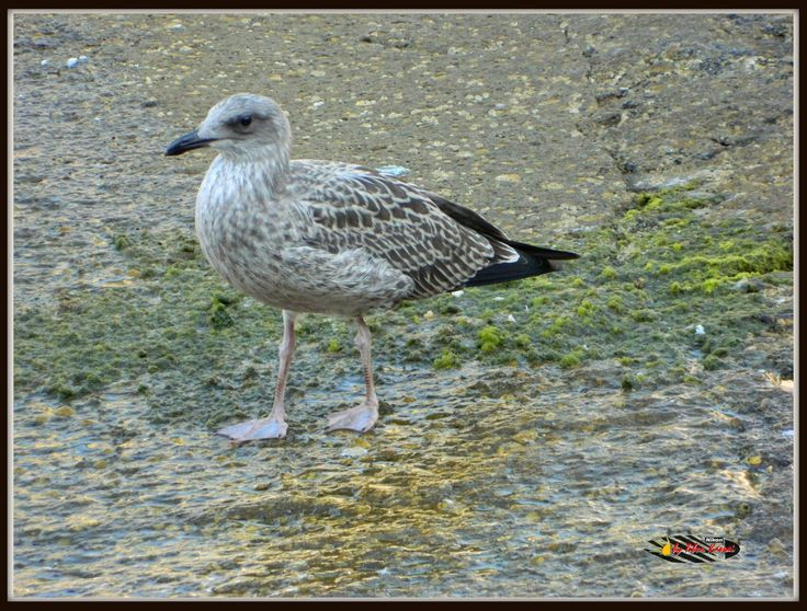 Seagull, Nikon Coolpix L310,83.7mm1/250s,ISO400,f/5.7,-0.3 Port of Capri -Italy, 201507151725