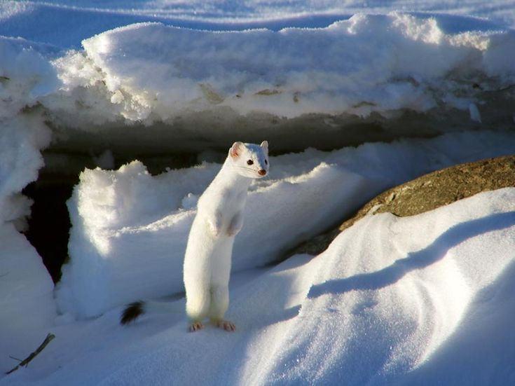 Picture of a white weasel in the snow in Montana