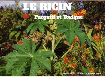 Ricin, Plante Purgative, Toxique   sante-solutions-remedes